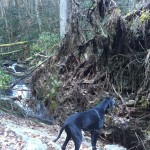Zoinks! inspects a massive blowdown